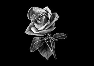 Z - CHABOT - Rose (3p093x3p913) R1