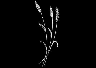Z-ROSENAU - Wheat Right (2p653x5p97) R4